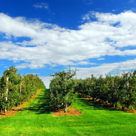 äpfel-plantage